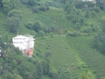 hier wird ueberall Tee angebaut