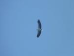 Ein Adler, aber keine Ahnung was fuer einer